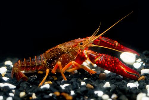 Cangrejo rojo americano: características