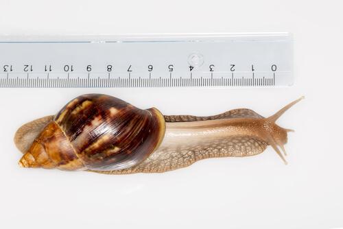 El caracol gigante africano es una especie invasora