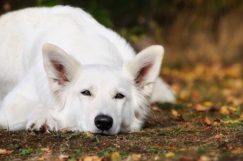Carácter del pastor blanco suizo: comportamiento