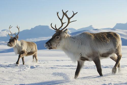5 animales de la tundra