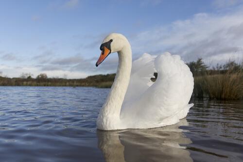Curiosidades sobre el cisne, un animal elegante