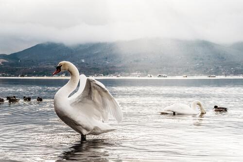 El comportamiento del cisne blanco, su día a día