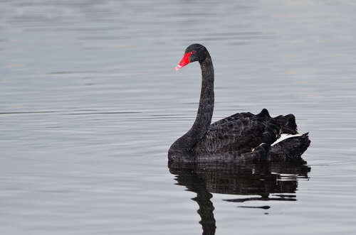 Cisne negro: curiosidades del animal
