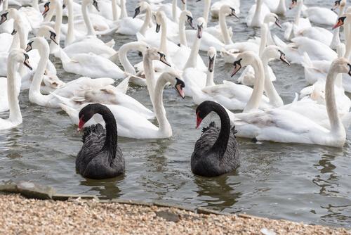 ¿Pueden ser dos cisnes negros?