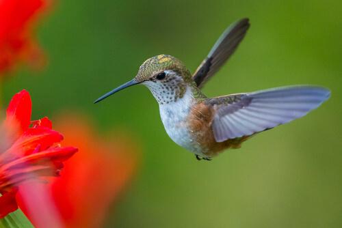 Colibrí: características, hábitat y alimentación