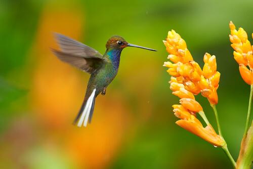 Colibrí: migración