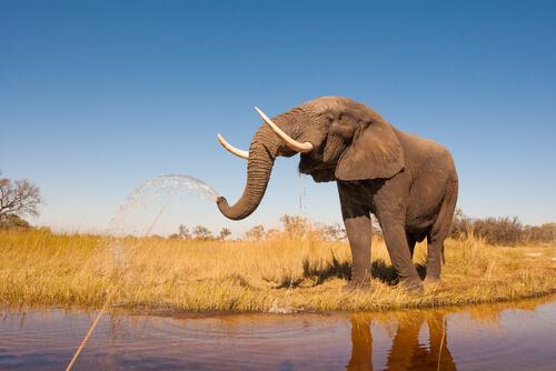 Colmillos del elefante africano