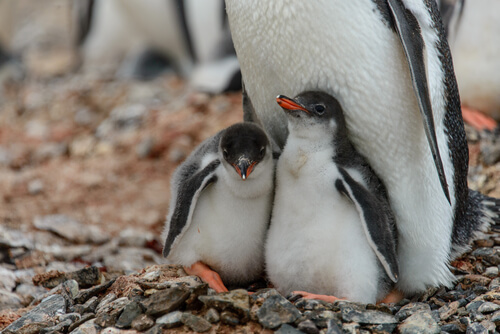 Cómo apadrinar un pingüino