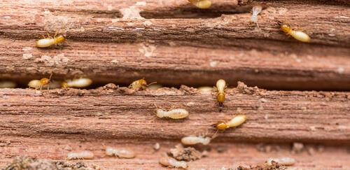 El poder destructor de la termita