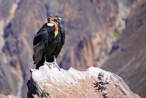 Descubre al cóndor, un ave majestuosa