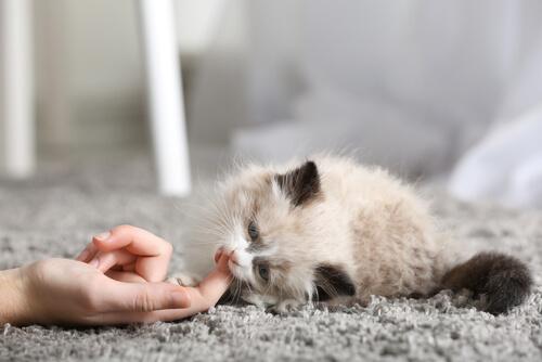 Los primeros días de un gato en casa
