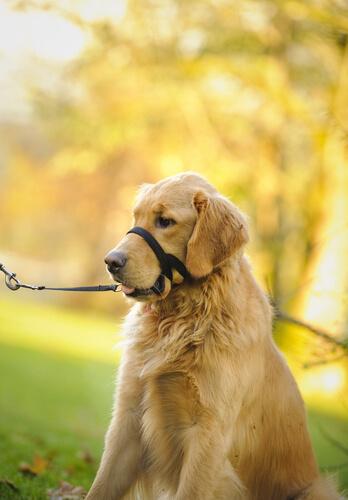 Correas para perros Halti