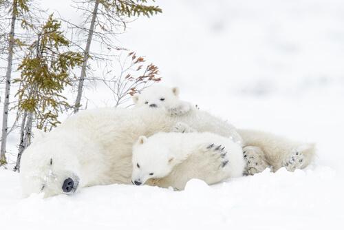 Crías de oso polar