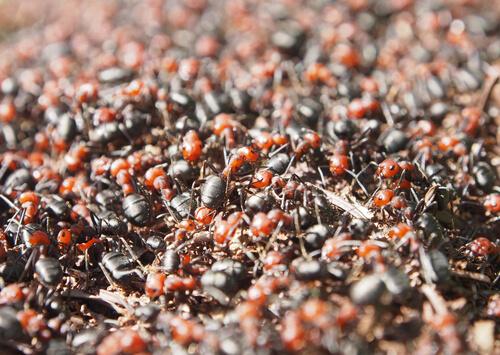 Cuando ruge la marabunta: hormigas