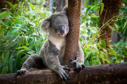 Cuánto duerme un koala