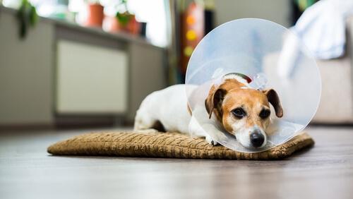 Cómo desinfectar las heridas de mi perro en casa