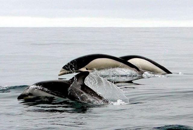 Delfín meridional sin aleta