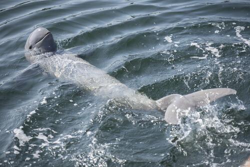 Delfín del río Irrawaddy en peligro de extinción