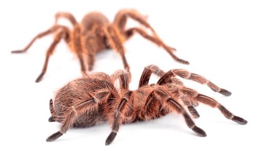 Dimorfismo sexual de las tarántulas