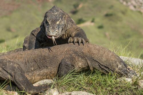 Dragón de Komodo: alimentación