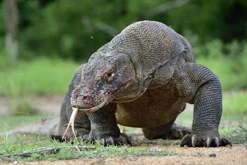 Dragón de Komodo: conoce todo sobre este 'monstruo'