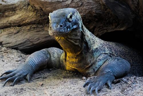 Dragón de Komodo: hábitat