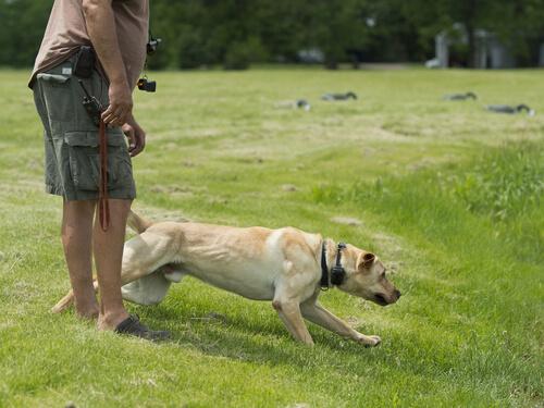 Adiestramiento profesional del labrador