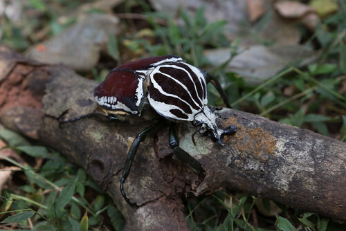 Escarabajo Goliat: características