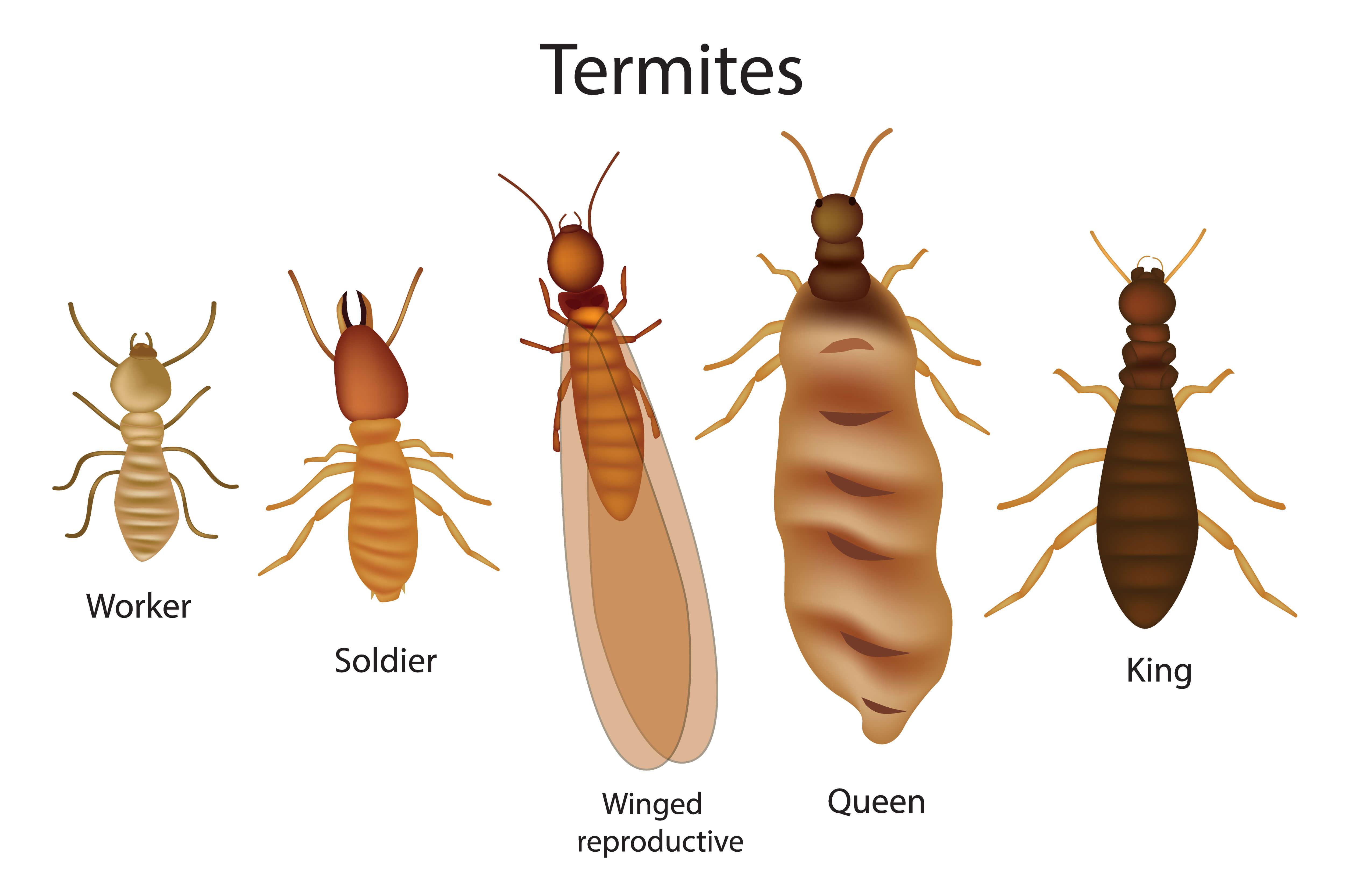 Especies de termitas