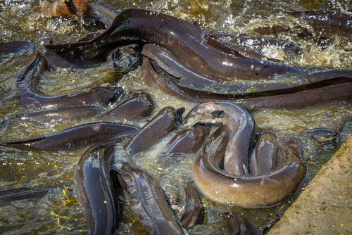 Especies que habitan en ríos: anguilas