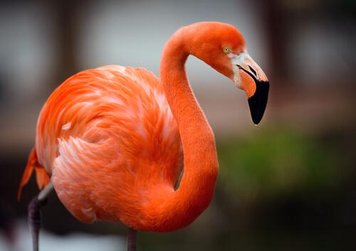 Flamencos: características, hábitat y alimentación.