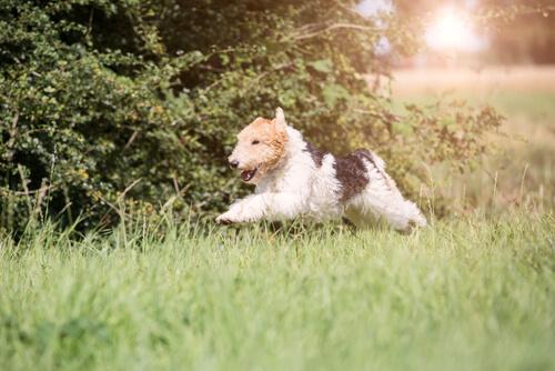 Fox terrier: comportamiento