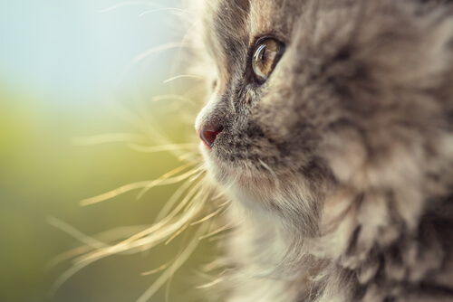 Gato alemán de pelo largo: historia
