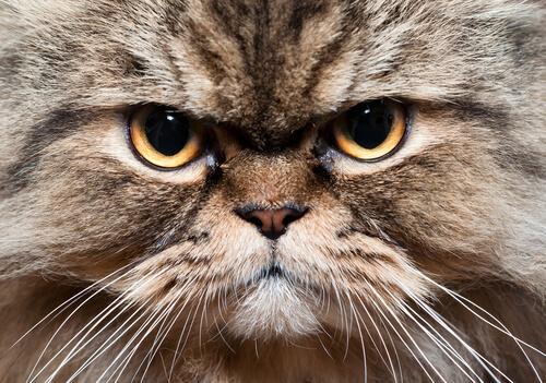 Gato alemán de pelo largo: temperamento