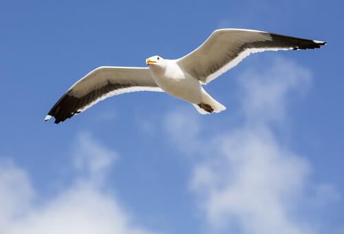 Gaviotas: hábitos de vuelo