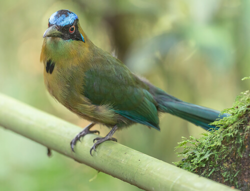 Guardabarranco: ave nacional de Nicaragua