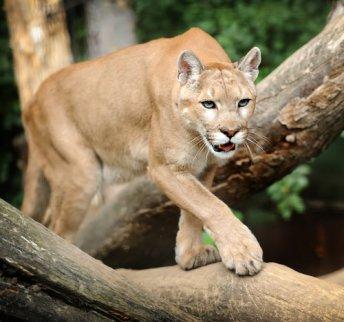 Luminancia Supervivencia asentamiento  Puma: el depredador americano - My Animals