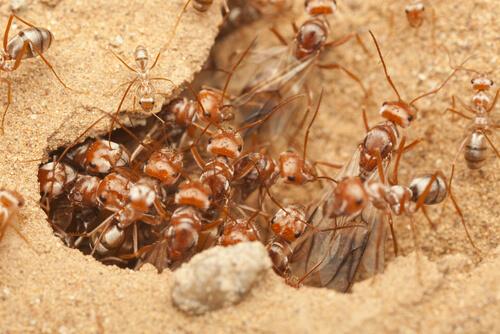 Hormiga guerrera africana