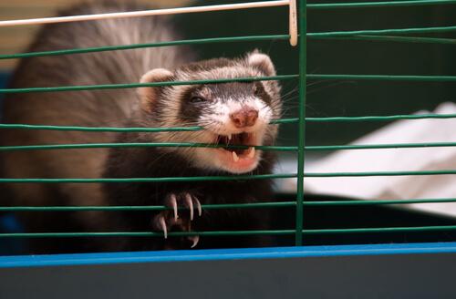 Hurón en jaula