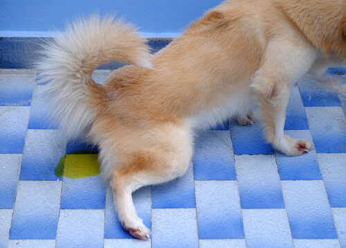 Incontinencia urinaria en perros