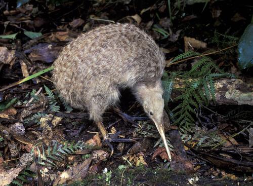 Kiwi: animal de Nueva Zelanda