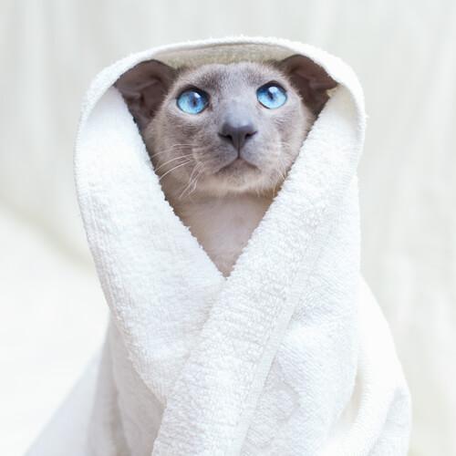 Lavar gato sin pelo