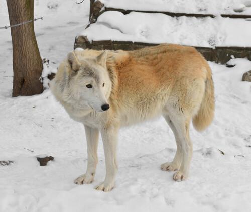 Lobo siberiano blanco