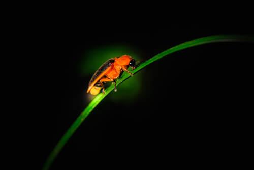 Luciérnaga: bioluminiscencia