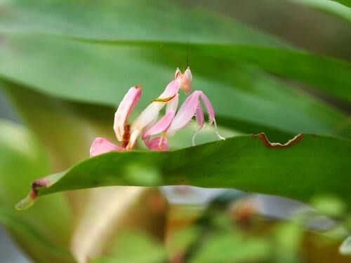 Mantis orquídea: hábitat