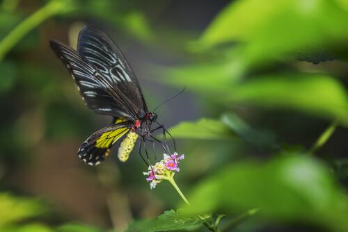 Mariposa alas de pájaro: características