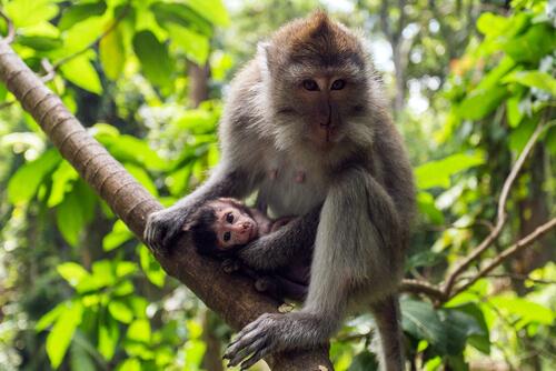 Macaco cangrejero: características, comportamiento y hábitat