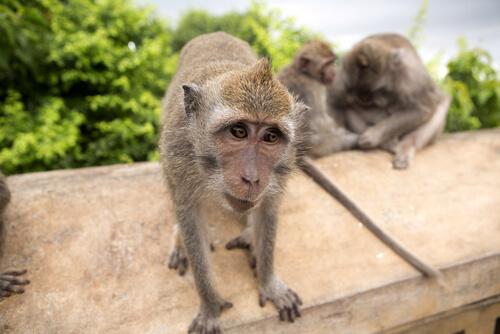 Mono macaco cangrejero: comportamiento