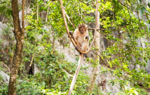 Mono macaco cangrejero: hábitat