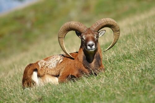 Muflón salvaje